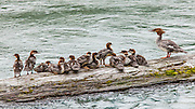 Merganser hen and family in the Quinault River.