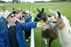 Group of adults with learning disabilities on a trip to an animal centre feeding the resident llamas,