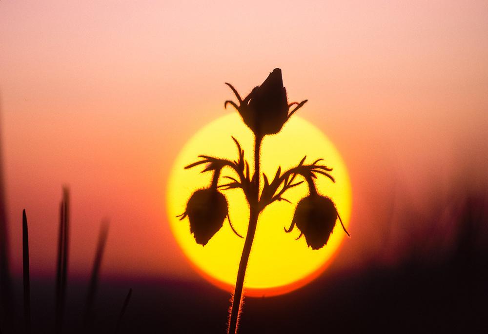 Geum (Geum triflorum), sunset, Olympic National Park, Washington, USA