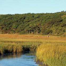 Biddeford, ME. Egrets feed in a salt marsh near Biddeford Pool. Tidal creek.  TPL project - Anuszewski property.