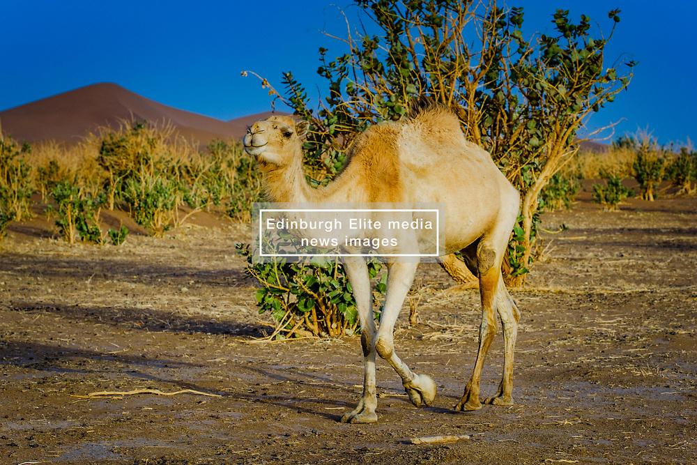 A camel in the Moroccan Sahara Desert near Chegagga in the early morning<br /> <br /> (c) Andrew Wilson   Edinburgh Elite media
