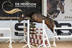019, Vintage Color V't Oud Molenhuis<br /> Hengstenkeuring Brp- Azelhof - Lier  2021<br /> © Hippo Foto - Dirk Caremans<br /> 14/04/2021