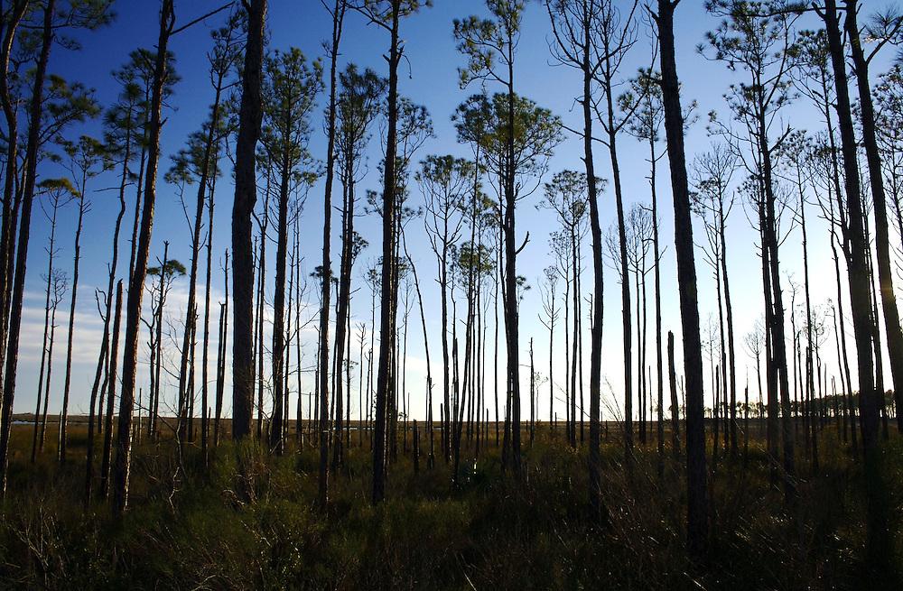Sand Pines, Big Branch Marsh, Christmas Eve (2), Lacombe, LA