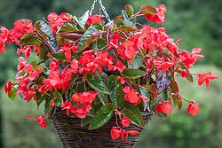 Begonia 'Dragon Wing Red'
