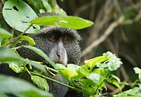 Blue Monkey, Cercopithecus mitis, in Arusha National Park, Tanzania