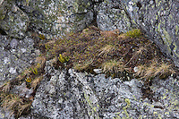 Kestrel (Falco tinnunculus), female on nest in mountain cliff. . Western Tatras, Slovakia. June 2009. Mission: Ticha