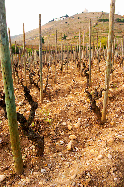 In the foreground an old Syrah vine and the typical sandy pebbly soil. The Hermitage vineyards on the hill behind the city Tain-l'Hermitage, on the steep sloping hill, stone terraced. Sometimes spelled Ermitage. Tain l'Hermitage, Drome, Drôme, France, Europe