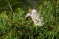 Immature Black-crowned Night Heron (Nycticorax nycticorax) attempts to swallow a huge fish while perched in a tree at Lake Chapala, Jocotopec, Jalisco, Mexico