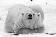 Schweden, SWE, Kolmarden, 2000: Ein Eisbaer (Ursus maritimus) liegt entspannt auf seinem Bauch im Schnee, Kolmardens Djurpark. | Sweden, SWE, Kolmarden, 2000: Polar bear, Ursus maritimus, resting relaxed on it's belly on snow, Kolmardens Djurpark. |
