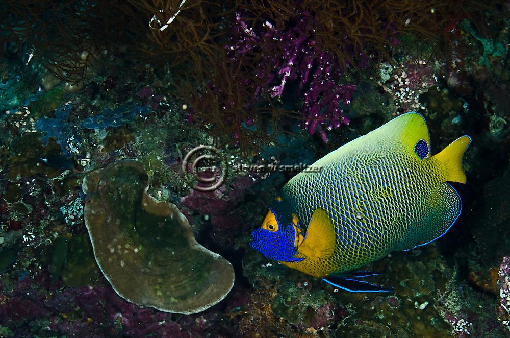 Yellow-mask Angelfish, Pomacanthus xanthometopon, Bali Indonesia