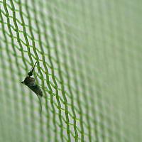 A mosquito tries to penetrate screening in Peru's Amazon Jungle.