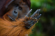 A dominant male orangutan ( Pongo pygmaeus ) holds his hand up and studies it, close-upwith his face out of focus, Borneo, Indonesia