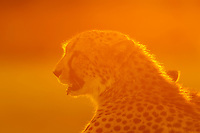 Cheetah, near Kwara Camp, Okavango Delta, Botswana.