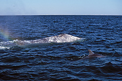 Gray Whale With Dolphin
