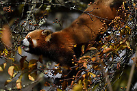 Red panda or Lesser panda (Ailurus fulgens) feeding berries in the humid montane mixed forest, Laba He National Nature Reserve, Sichuan, China