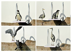 © Licensed to London News Pictures. 29/03/2012. London, UK. A composite photograph shows the moment a wild heron chases a Humboldt penguin from his position on the diving board. Penguins discover a new diving board in their enclosure at London Zoo today 29 March 2012. The board has been granted the 'Inspire Mark' by the London 2012 Inspire programme which recognises ideas inspired by the Olympic Games. Photo credit : Stephen Simpson/LNP