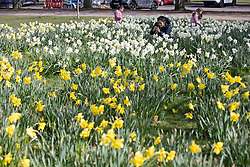 © Licensed to London News Pictures. 27/03/2021. London, UK. A woman takes pictures of daffodils in a sunny Greenwich Park in South East London. Temperatures are expected to rise with highs of 20 degrees forecasted for parts of the UK next week. Photo credit: George Cracknell Wright/LNP