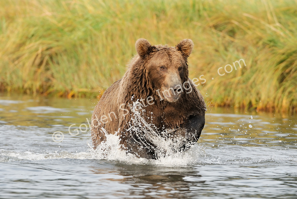 A sow makes a charge on a group of salmon. All she needs is the slightest sound or ripple on the surface to send her running.  <br /> <br /> Brown Bears and Grizzly Bears are the same species. In general Bears living within 50 miles of the coast are considered browns. Animals living further inland are considered Grizzlies.  <br /> <br /> Grizzlies are omnivores feeding on a variety of plants berries roots and grasses in addition to fish insects and small mammals. Salmon are a key part of their diet. Normally a solitary animal they will congregate along streams and rivers during Salmon runs. Weight to over 1200 pounds.    <br />  <br /> Range: Native to Asia Africa Europe and North America. Now extinct in much of their original range.    <br />   <br /> Species: Ursus arctos