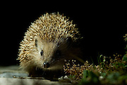 West European Hedgehog in Sicó-Alvaiázere Natura 2000 Network site