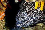 Laced moray (Gymnothorax favagineus)