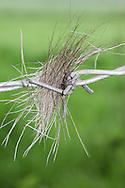 Deer Hair In Barbed Wire
