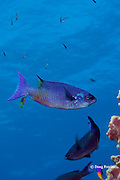 creole wrasse, Clepticus parrae, being cleaned of parasites by juvenile Spanish hogfish, Bodianus rufus, at cleaning station, Lighthouse Reef Atoll, Belize, Central America ( Caribbean Sea )