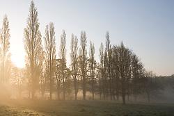 Poplars on a misty spring morning on the estate at Sissinghurst Castle Garden