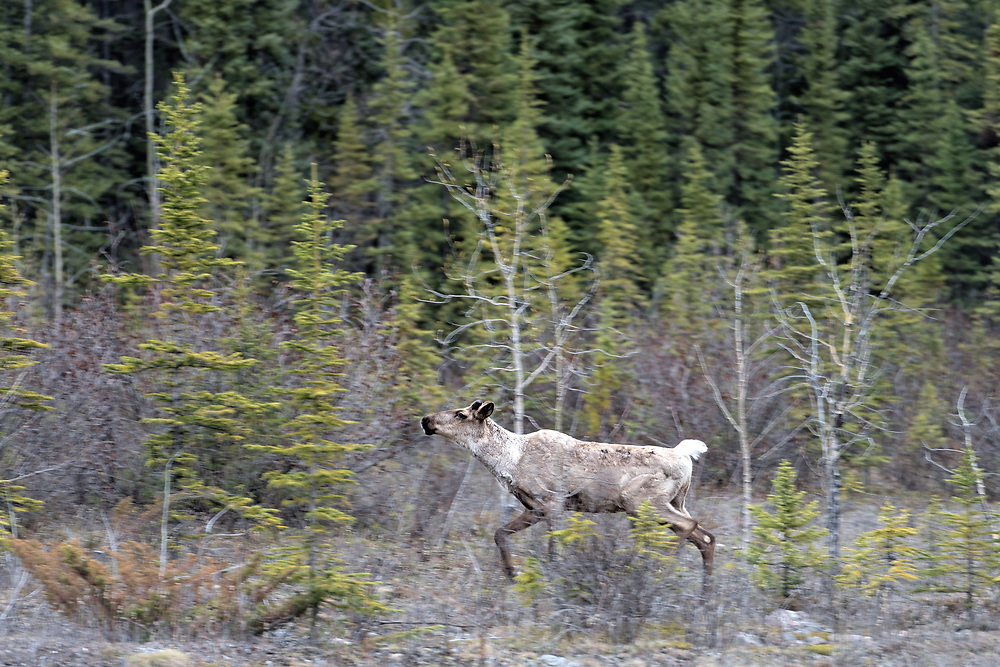 A caribou runs near the Alaska Highway