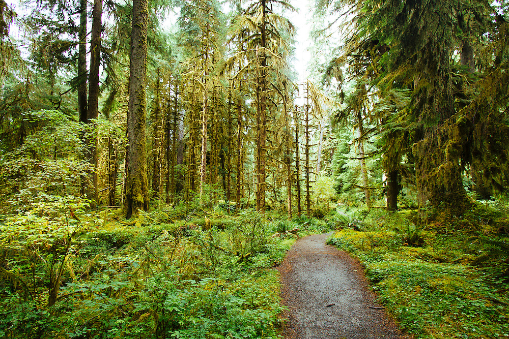 Spruce Nature Trail, Hoh River Rain Forest. Olympic National Park, WA