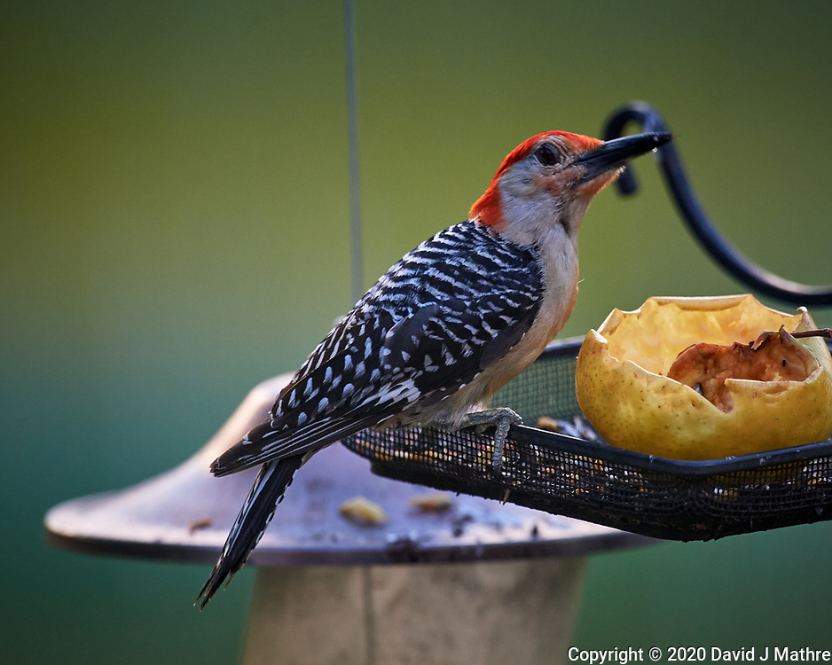 Red Bellied Woodpecker. Image taken with a Nikon D5 camera and 600 mm f/4 VR lens.