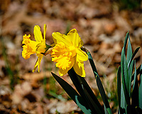 Daffodils. Image taken with a Fuji X-T2 camera and 100-400 mm OIS lens (ISO 200, 400 mm, f/6.4, 1/1250 sec).