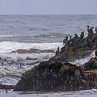 Gulls fly over cormorants perching on a rock in the Pacific Ocean near Pescadero, California.