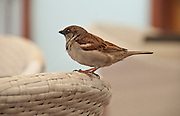 Male House Sparrow (Passer domesticus) Photographed in Israel in Spring