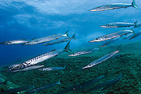 Striped Barracuda (Sphyraena viridensis)<br /> France: Corsica, Lavezzi Islands, Perduto