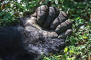 Close-up portrait of a silverback mountain gorilla hand (Gorilla beringei beringei) in the forest, Parc de Volcanos, Rwanda, Africa