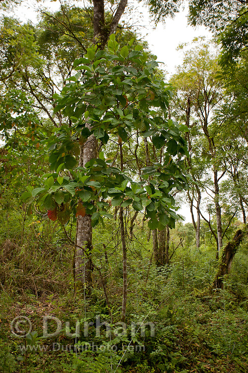 A quinine tree or cinchona tree (Cinchona pubescens). For several centuries, the bark of  Cinchona has been used as a source of the febrifuge chemical quinine, effective against malaria. Santa Cruz Highlands, Santa Cruz Island, Galapagos Archipelago - Ecuador.
