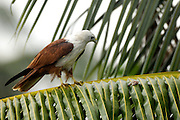 A brahminy kite (Haliastur indus) on a palm branch.