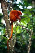 Neben pflanzlicher Nahrung und Insekten fressen Löwenäffchen gelegentlich auch Frösche. | Besides different plant parts and insects Golden Lion Tamarins occasionally feed on frogs.
