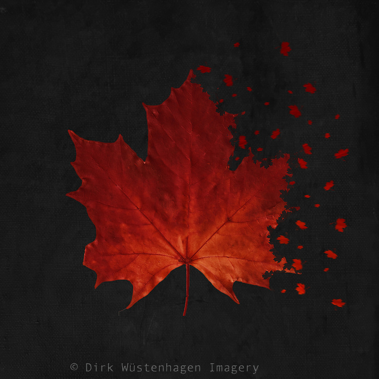 Scan of a red maple tree leaf with an added dipersion effect of flying and falling leaves