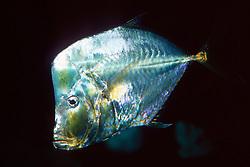 Mexican lookdown (c), .Selene brevoortii, .eastern Pacific Ocean.