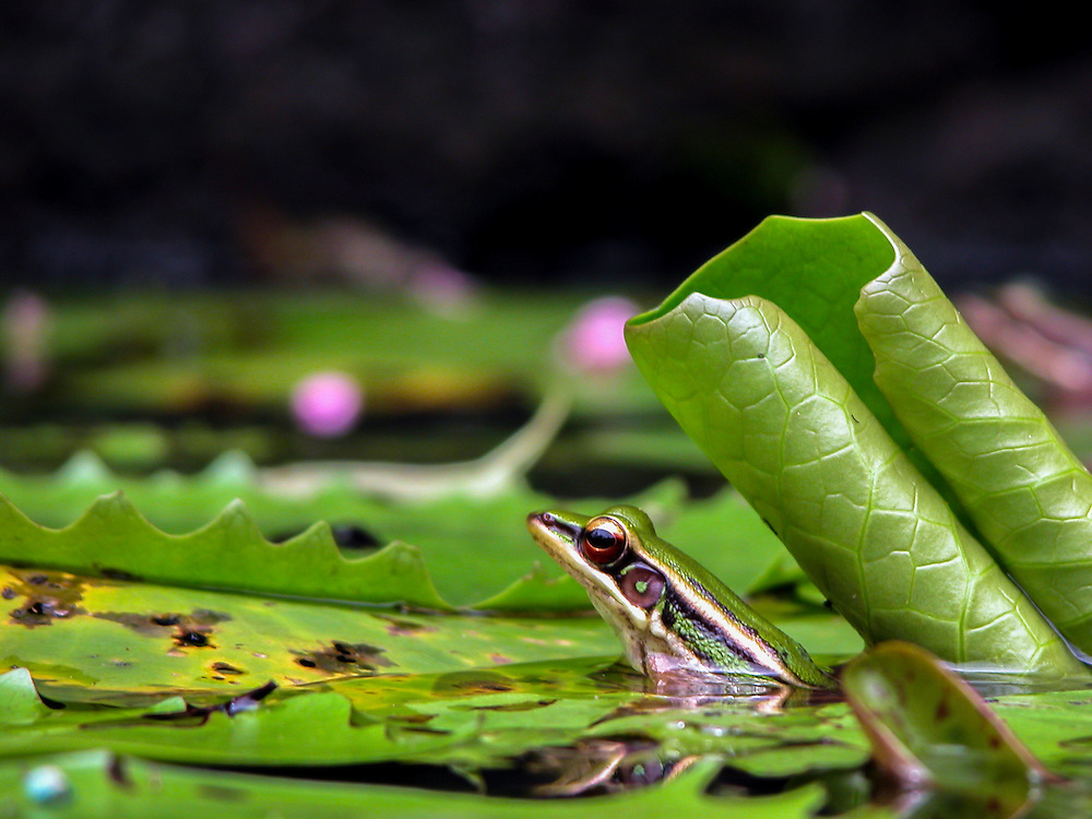 Stock photograph of a Common Greenback Frog (Rana erythraea) in a lily pond in Kuala Lumpur, Malaysia