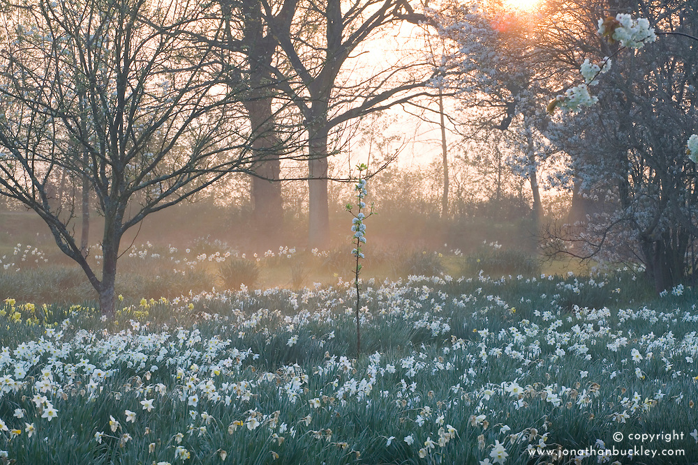 Daffodils in the orchard at Sissinghurst Castle Garden early on a misty spring morning