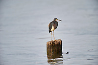 Tricolored Heron (Egretta tricolor) perched on a log, Lake Chapala, Ajijic, Jalisco, Mexico.