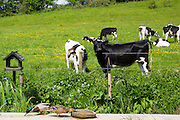 Friesian cows watching ducks feeding in a country garden pastoral nature scene in The Cotswolds, UK