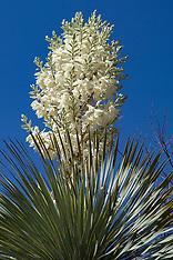 Thompson Yucca