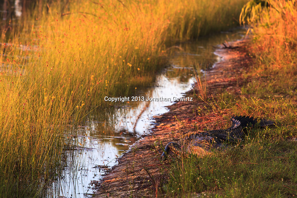 An alligator basks in the first rays of morning sun on the banks of the pond at Long Pine Key in Everglades National Park, Florida. WATERMARKS WILL NOT APPEAR ON PRINTS OR LICENSED IMAGES.
