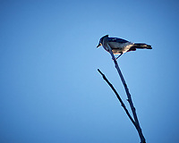 Blue Jay in the morning sun at Fort DeSoto park in St. Petersburg, Florida. Image taken with a Nikon N1V2 camera and 180 mm f/2.8 lens (ISO 160, 180 mm, f/2.8, 1/4000 sec).