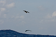Frigate birds can't resist the opportunity of a free meal.  Like the one shown here when a jumping Dorado spits up a Ballyhoo bait.