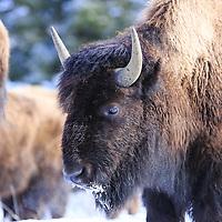 Animals - Bison