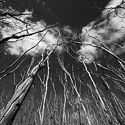 Bare trees reach into the sky off the Great Ocean Road, Victoria, Australia.